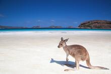 Kangaroo Is Relaxing At The Lucky Bay Beach In Esperance Western Australia