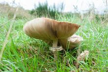 Mushroom With Lamellae