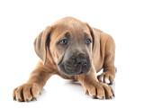 Fototapeta Kawa jest smaczna - puppy cane corso