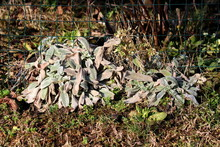 Colorful Lambs Ear Or Stachys Byzantina Or Woolly Hedgenettle Or Stachys Lanata Or Stachys Olympica Ornamental Perennial Plants With Spike Like Stems And Thick Leaves Densely Covered On Both Sides Wit