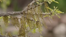 Oak Tree Blossums Catkins Reproduction Flower New Leaves In Spring