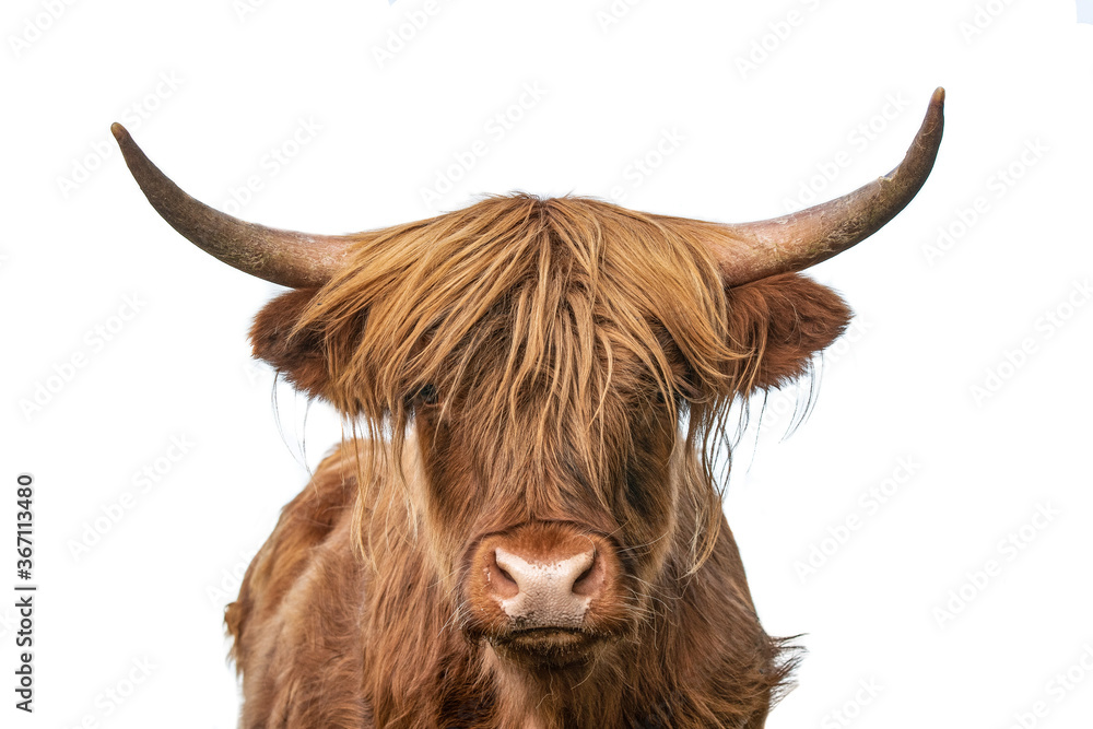 Fototapeta highland cow on white background, headshot