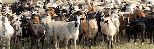 Fototapeta Sheep and goats graze on green grass in spring