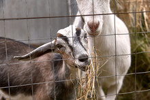 Grey Young Goat Eating Hay Behind A Fence Cage In A Corral On The Farm Of A Country House