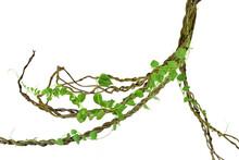 Circular Vine At The Roots. Bu...