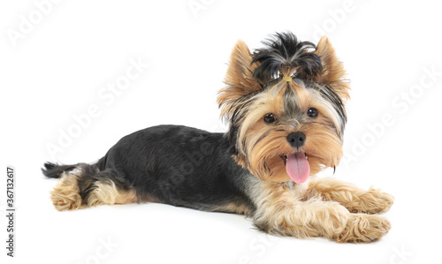 Yorkshire terrier puppy stands isolated on white background Wallpaper Mural