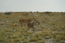 African Lions Hunting For Zebras And Ostriches In Etosha National Park, Namibia