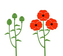 Poppy Flower. Isolated Poppy Flower On White Background