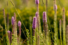 Three English Names Flowers - Dotted Gayfeather Also Known As Dotted Blazingstar And Narrow-leaved Blazingstar. Beautiful North American  Native Flowers  On The Meadow