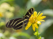Close-up Of Heliconius Charithonia, The Zebra Longwing Or Zebra Heliconian Butterfly On A Yellow Flower