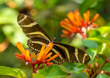 Close-up Of Heliconius Charithonia, The Zebra Longwing Or Zebra Heliconian Butterfly On A Orangeflower