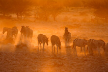 Zebras In Dust At Sunset, Etos...