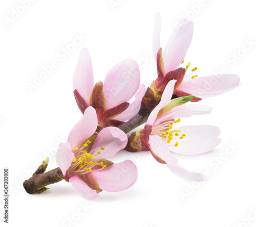 Tableau sur Toile Pink almond tree blossoms on a branch isolated on white background