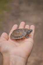 Red Eared Slider, Red Eared Slider Turtle, Turtle In The Grass, Baby Turtle, Cute Baby Turtle, Turtle Playing In Surrounding, Turtle Looking For Someone, Turtle In Hand