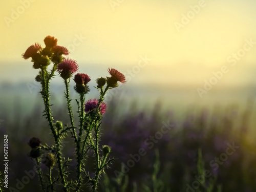 Fotografering Thistle blooms on a hill in the light of the setting sun