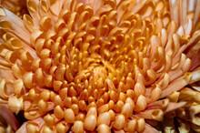 Close Up Of A Golden Spider Mum