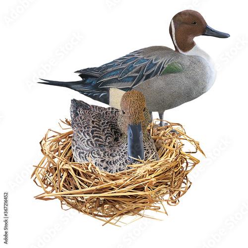 Leinwand Poster canard pilet, couveuse, nid, couple,  , oiseau, animal, nature, isolé, anas bec,