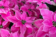 canvas print picture - pink poinsettia flowers