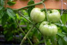 Tomatoes Ripening On Vine In Garden