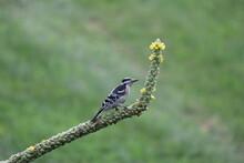 Woodpecker On Mullein