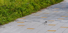 Japanese Wagtail On Concrete Sidewalk