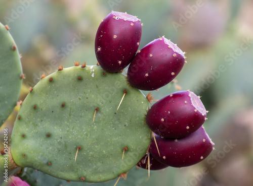 Valokuvatapetti Close up of prickly pear cactus red fruit.