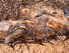 Complex Twirls Of Bark Of A Tree Trunk