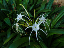 The Beach Spider Lily (Hymenoc...