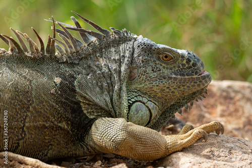 Photo Close-up picture of Green Iguana lying on a rock