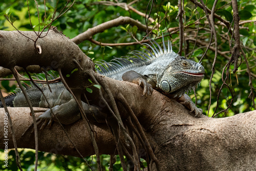 Green Iguana on a tree branch looking into a distance Wallpaper Mural