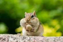 Chipmunk Having Peanuts