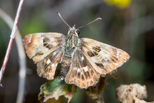 Southern Marbled Skipper Butterfly, Carcharodus Baeticus, Posed On A Plant