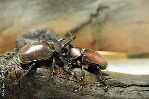 Cuadros en Lienzo 激しく喧嘩するカブトムシのイメージ素材