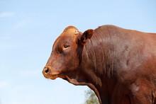 Portrait Of A Stud Bonsmara Bull On A Rural Farm - South Africa.