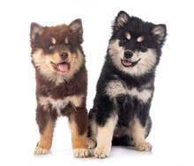 Puppies Finnish Lapphund In S...