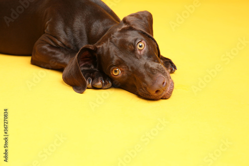 German Shorthaired Pointer dog on yellow background