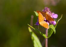 Two Orange Butterflies Sit On...