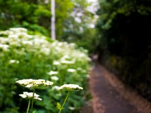 Selective Focus Shot Of White Queen Anne's Lace Flowers Blooming At A Park