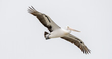 Australian Pelican Soaring Thr...