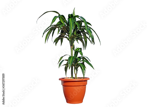 Dracaena fragrans 'Trunk of Brazil', Corn Plant, Cornstalk Plant, Dracaena Drago Wallpaper Mural