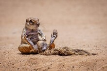 Ground Squirrel Sitting On The Soil