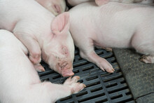 Small Piglets Sleeping In The ...