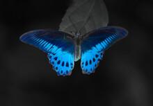 Blue Butterfly On Black Background