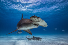 Great Hammerhead Shark In Cari...