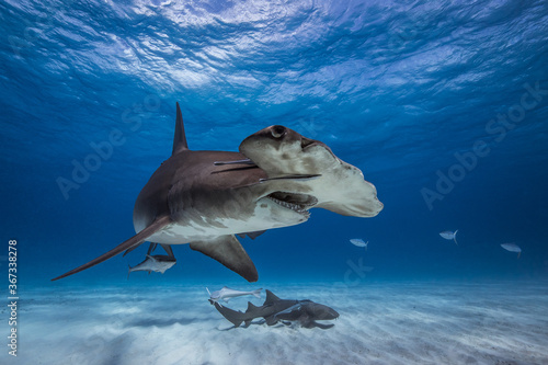 Foto Great hammerhead shark in caribbean sea
