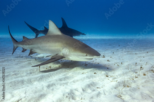 Photo Bull shark in caribbean sea