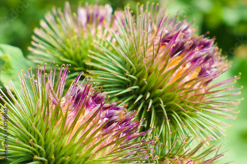 Fotografering Close-up on a purple thistle flower