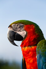 Close Up Macaw Parrot On Blue ...