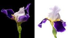 Collage Of Two Simultaneously Blooming Beautiful Blue And White Iris Flowers Opening On Black And White Background Close Up