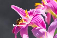 Preciosa Flor De Verano Llamada Duendes Visitadas Algunas Por Insectos